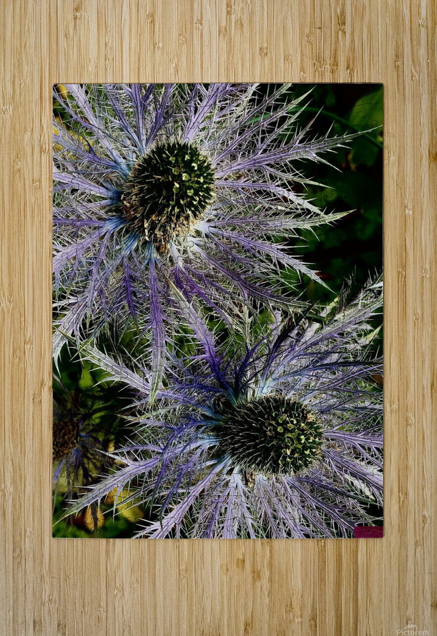 Sea Holly  HD Metal print with Floating Frame on Back