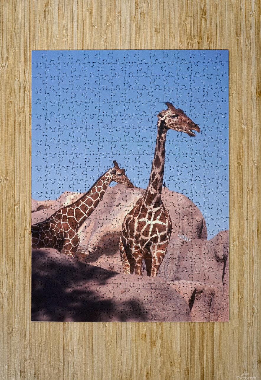 Giraffe Photograph  HD Metal print with Floating Frame on Back