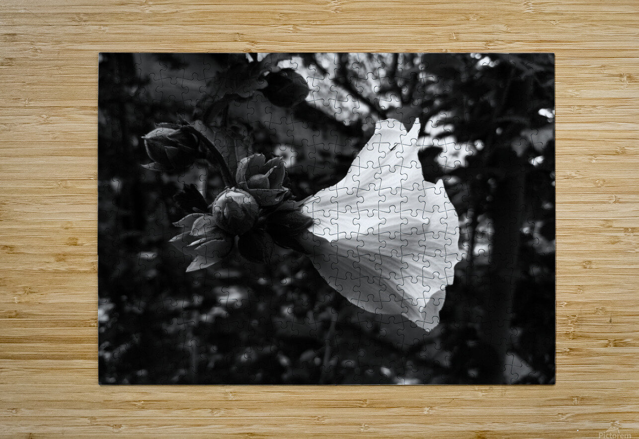 Blooming flower in black and white  HD Metal print with Floating Frame on Back