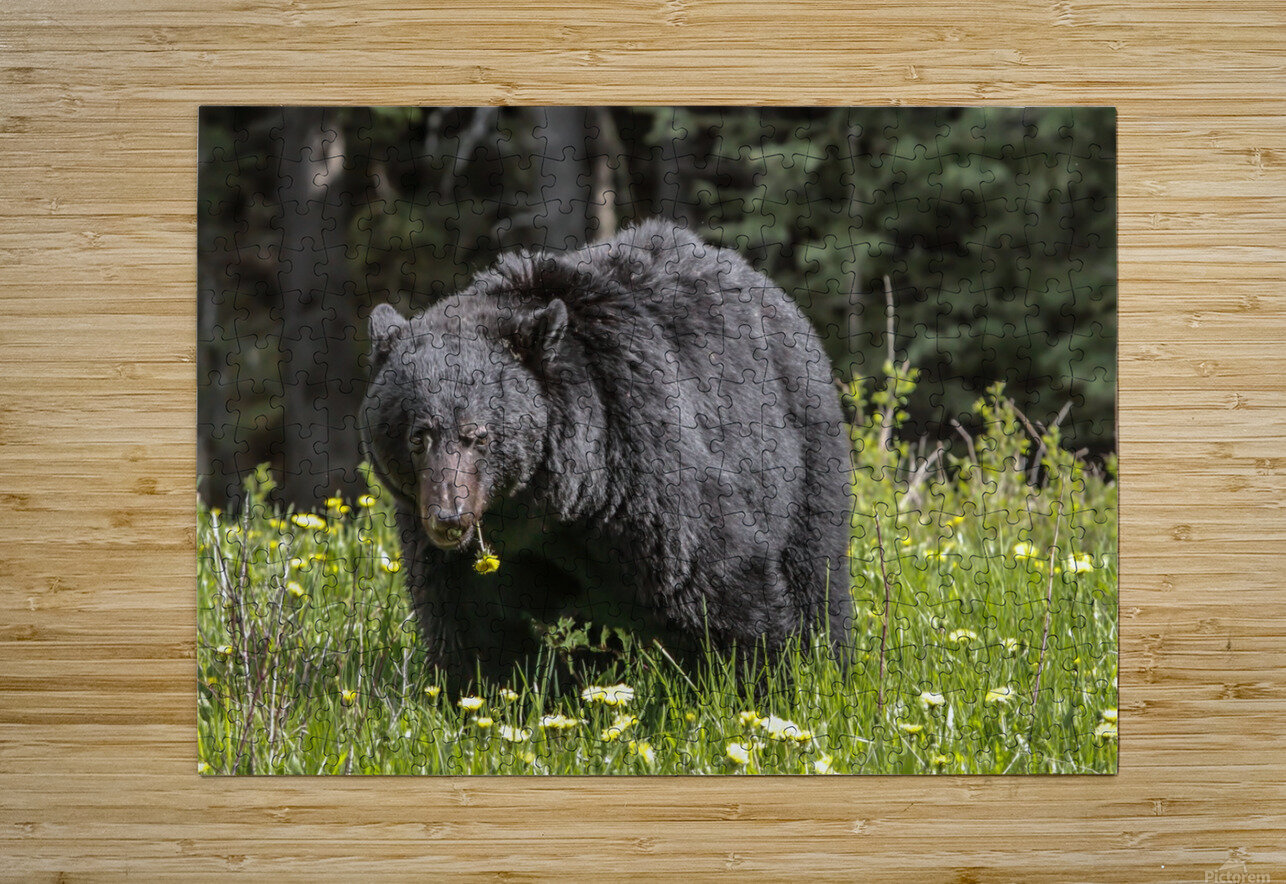 Black Bear With Dandelion  HD Metal print with Floating Frame on Back