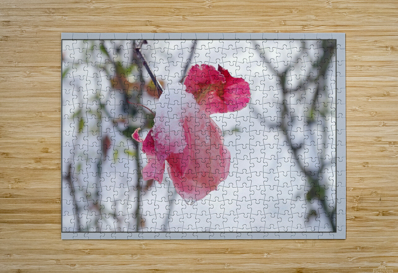 Roses in the snow  HD Metal print with Floating Frame on Back