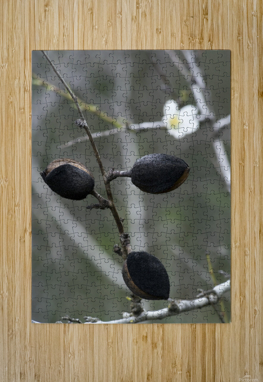 Almond  HD Metal print with Floating Frame on Back