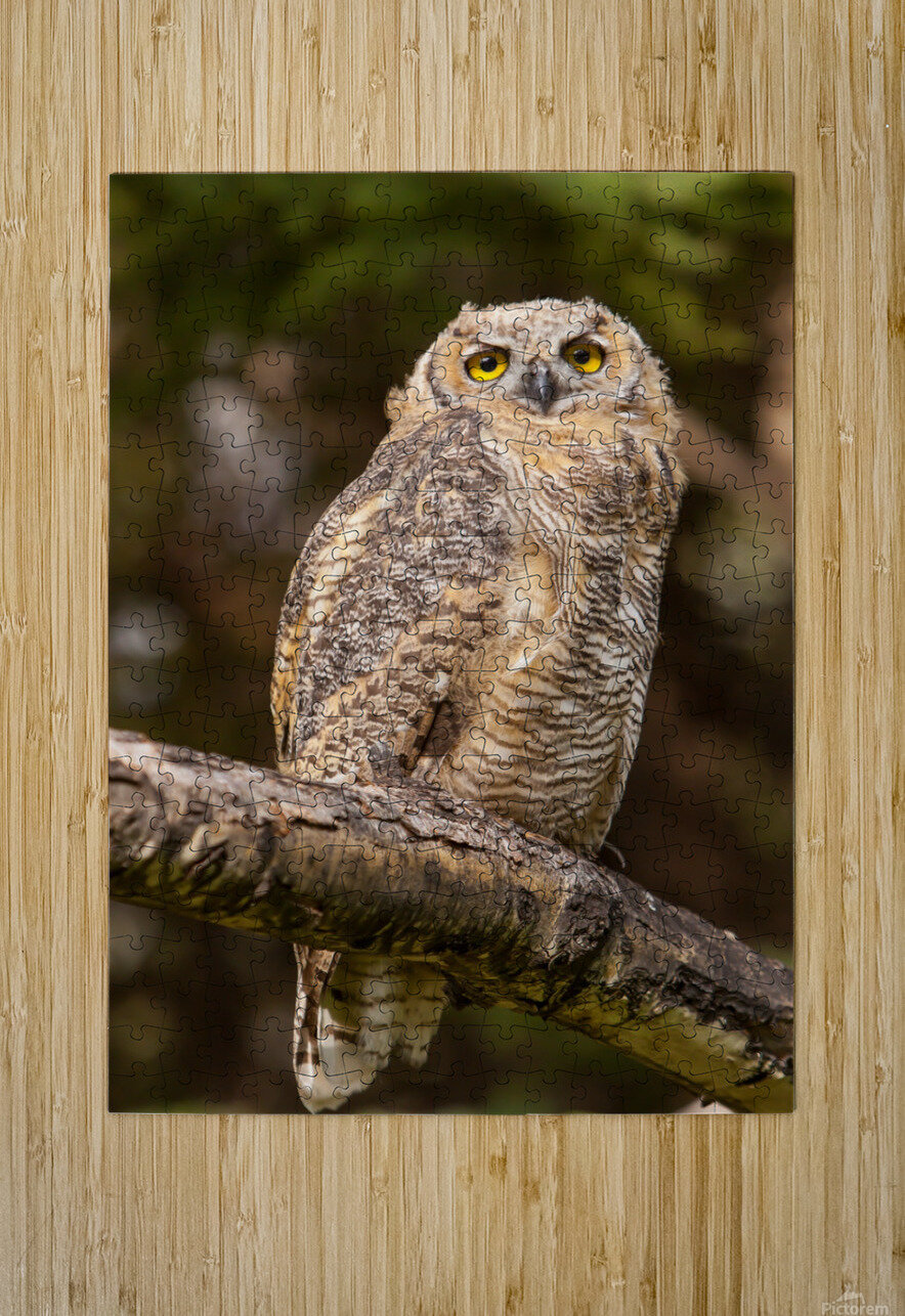 Great Horned Owl  HD Metal print with Floating Frame on Back