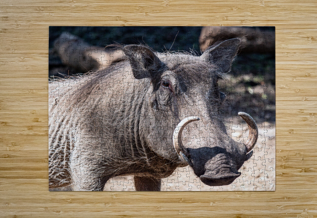 Warthog Close Up  HD Metal print with Floating Frame on Back