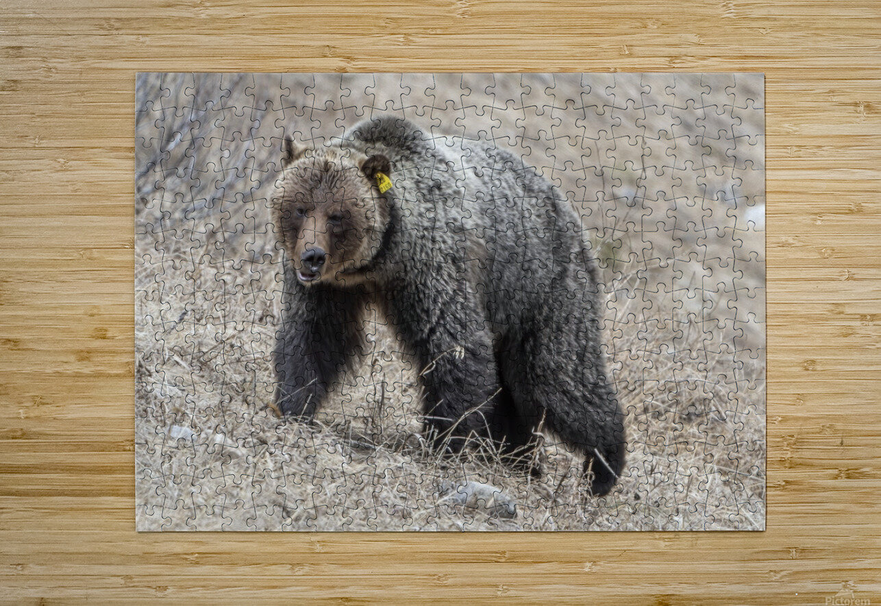 6970 - Grizzly Bear 2160  HD Metal print with Floating Frame on Back