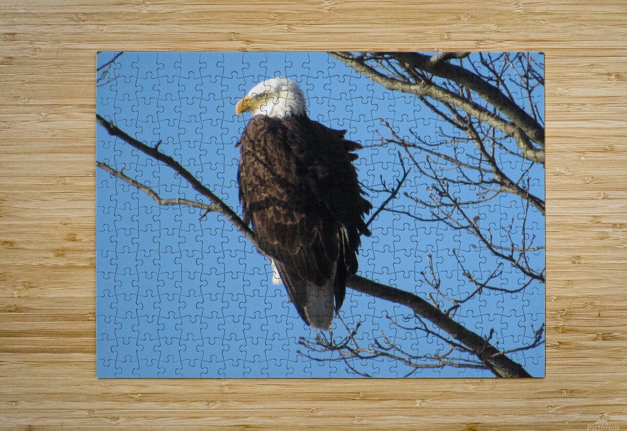 Bald Eagle Sitting on a Branch  HD Metal print with Floating Frame on Back