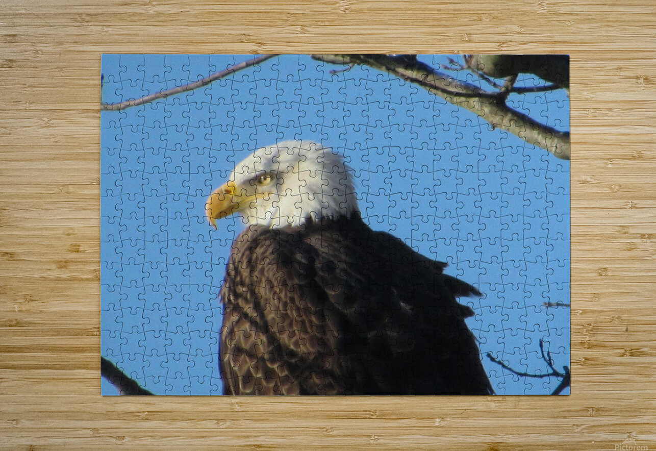 Bald Eagle Close Up  HD Metal print with Floating Frame on Back
