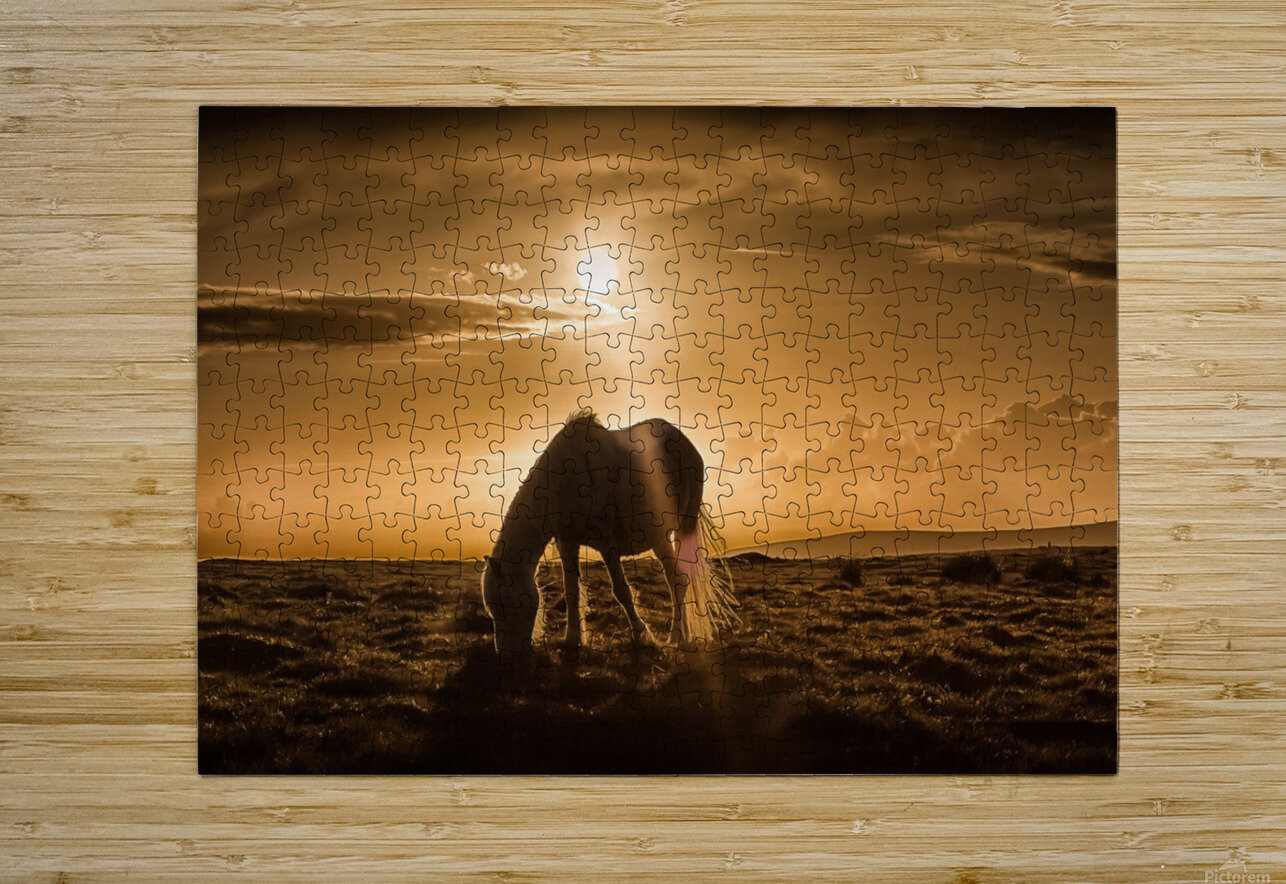 Gower pony at sunset on Cefn Bryn Gower  HD Metal print with Floating Frame on Back