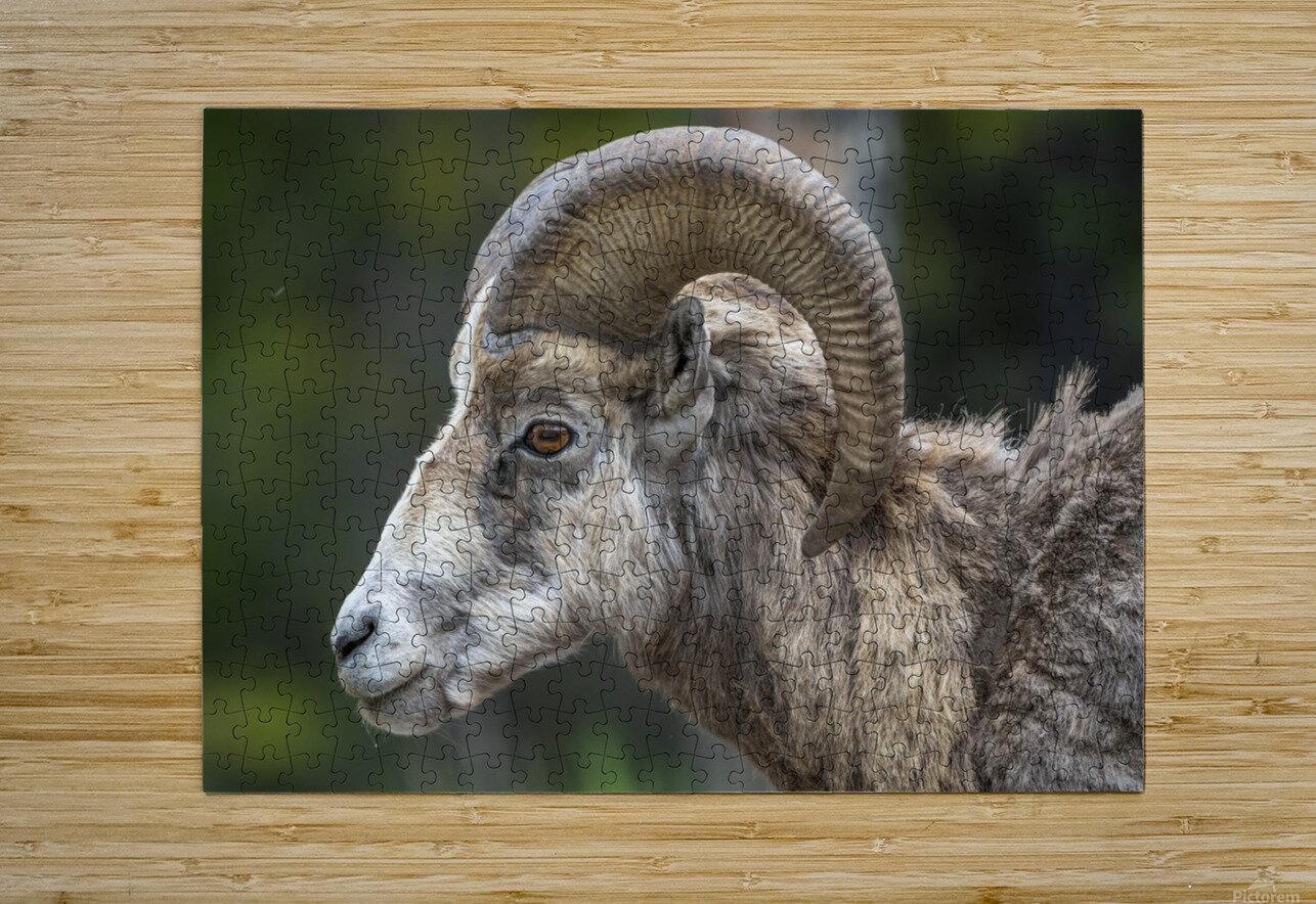 5513 - Big Horn Sheep  Banff National Park Canada  HD Metal print with Floating Frame on Back