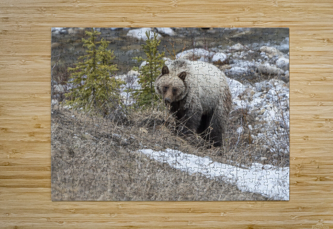 6944 - Grizzly Bear  HD Metal print with Floating Frame on Back