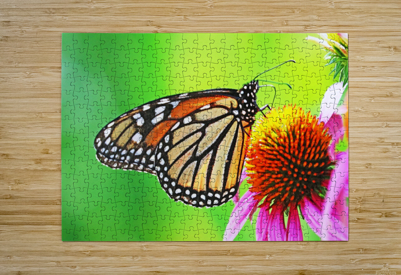 The Beauty Of The Monarch Butterfly  HD Metal print with Floating Frame on Back