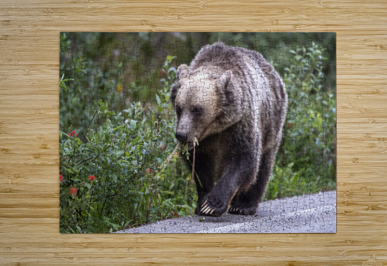0037 - Grizzly Bear with Dandelions in Banff National Park Canada.  HD Metal print with Floating Frame on Back