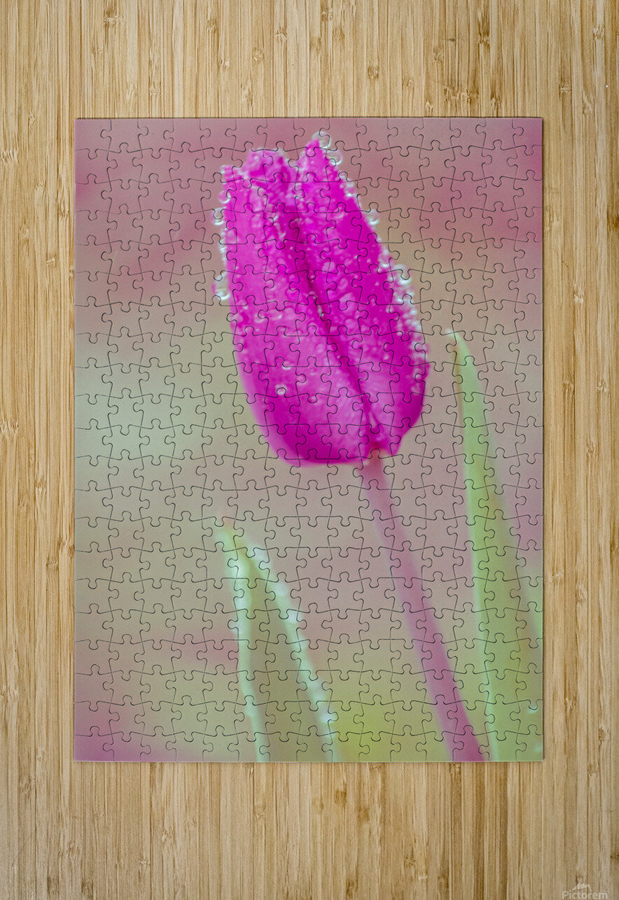 Pink Tulip I  HD Metal print with Floating Frame on Back