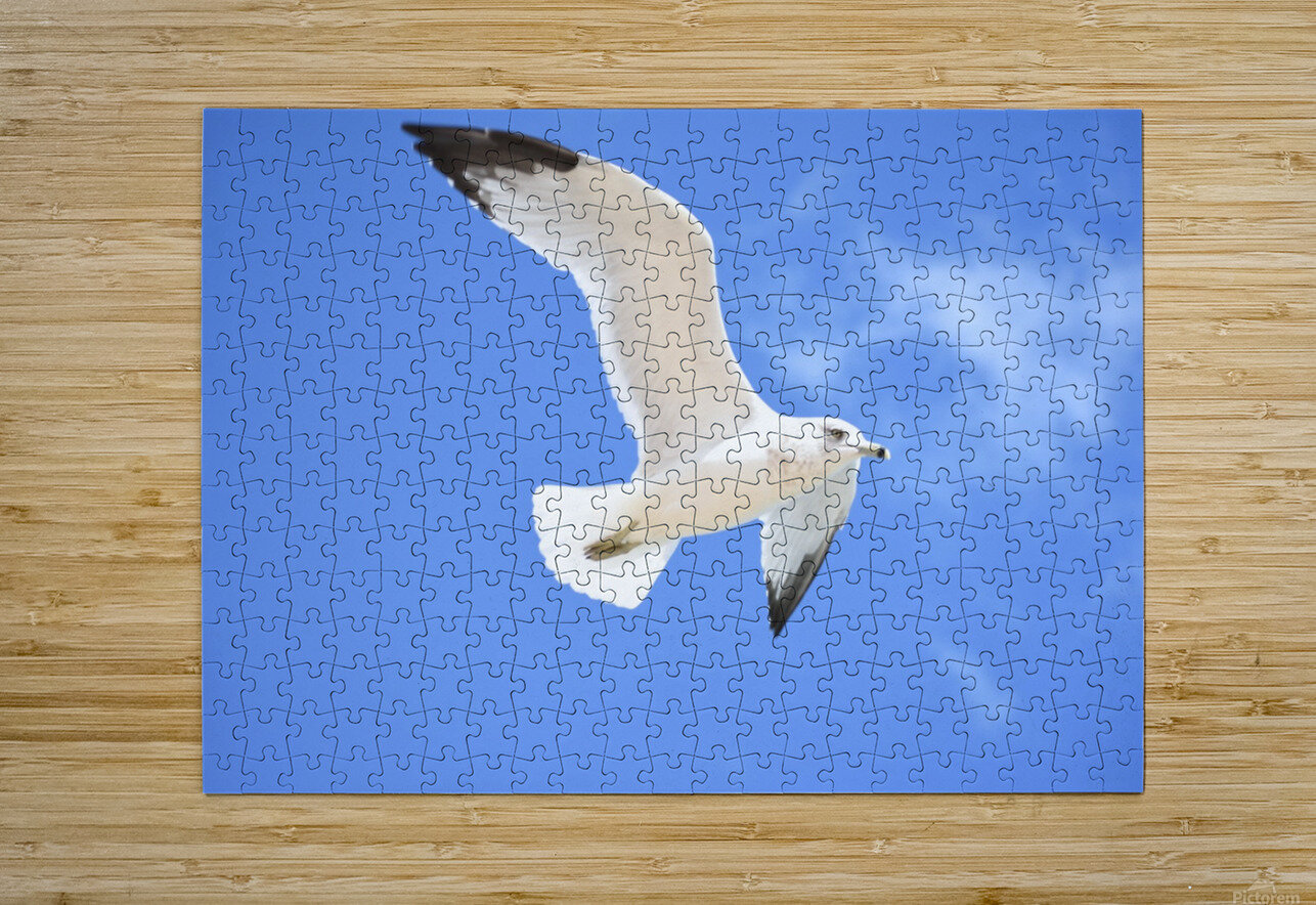 Seagull Overhead  HD Metal print with Floating Frame on Back