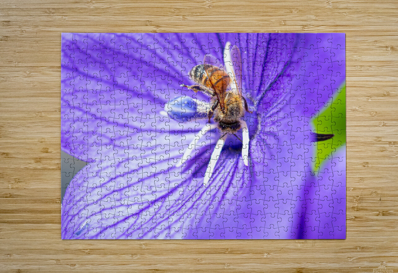 Pollinating Bee  HD Metal print with Floating Frame on Back