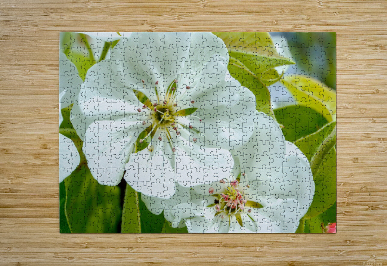 Pear Blossom - No. 1  HD Metal print with Floating Frame on Back