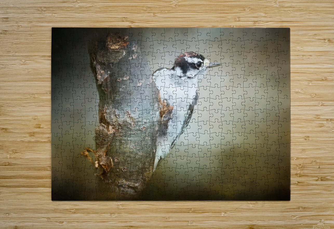 Juvenile male Downy Woodpecker  HD Metal print with Floating Frame on Back