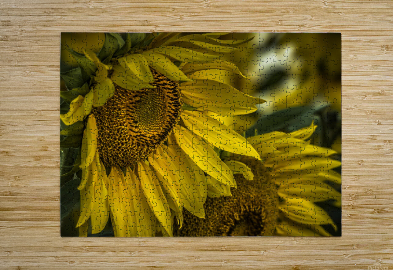 Sunflower Dawn   HD Metal print with Floating Frame on Back