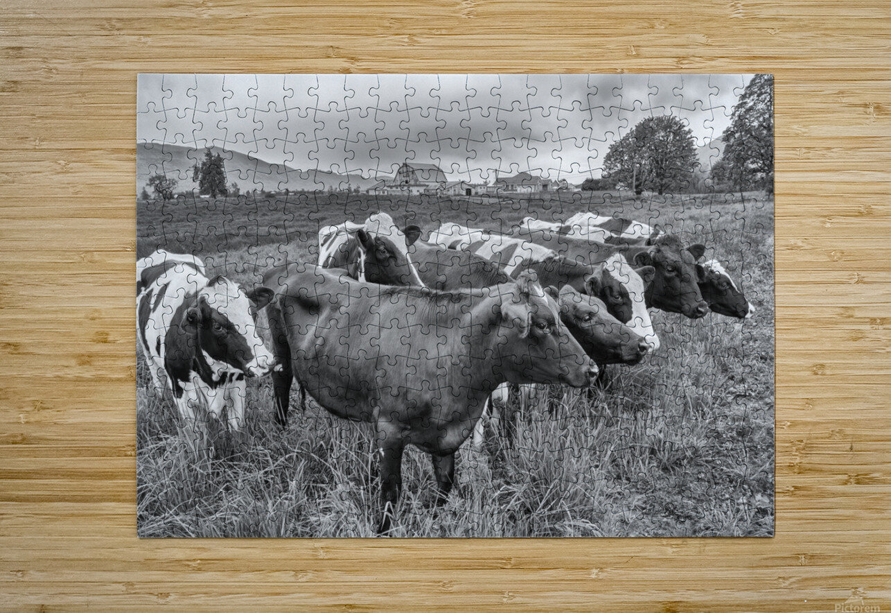 Cow Herd up Close  HD Metal print with Floating Frame on Back