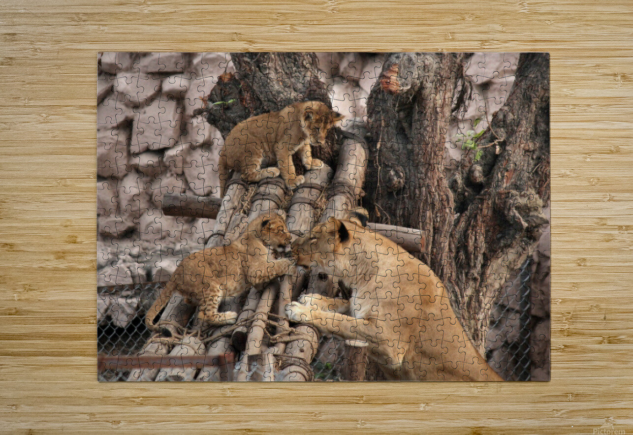 Lioness baby in Lucknow Zoo (1)  HD Metal print with Floating Frame on Back