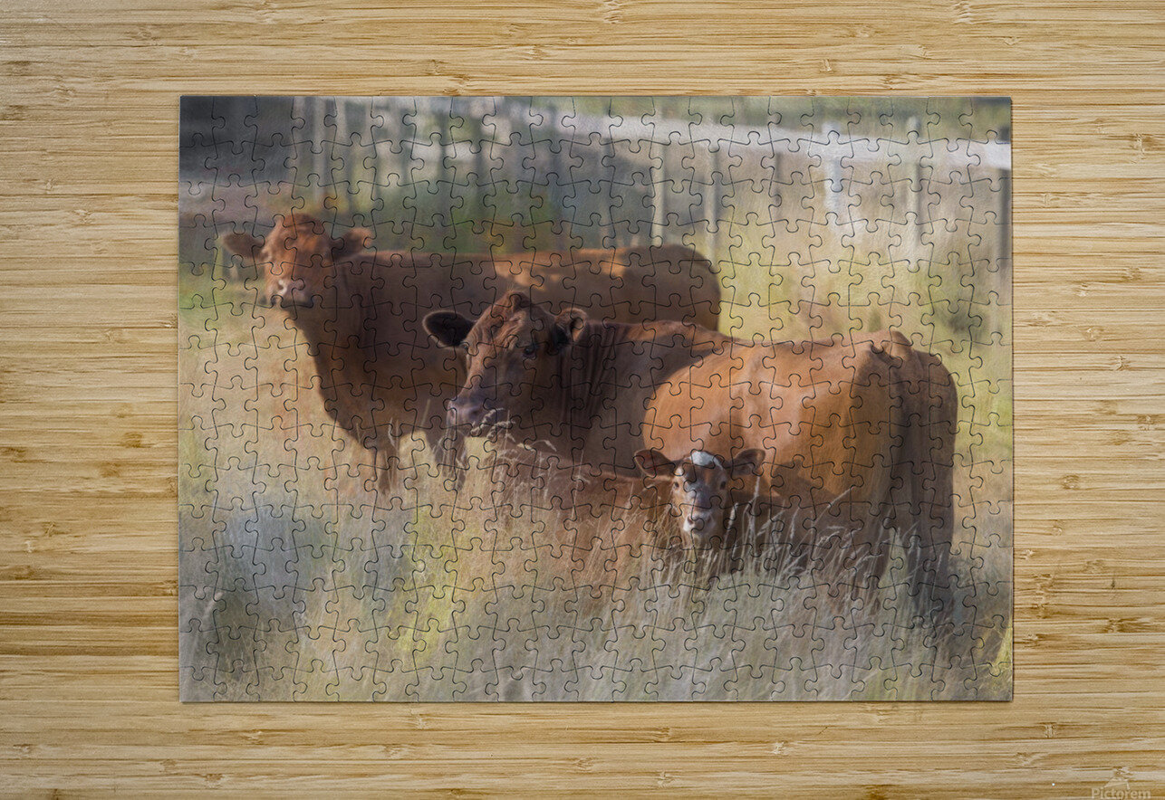Three Cows   HD Metal print with Floating Frame on Back