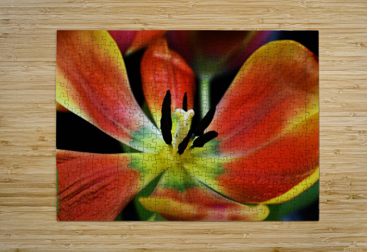 Tulip 2  HD Metal print with Floating Frame on Back