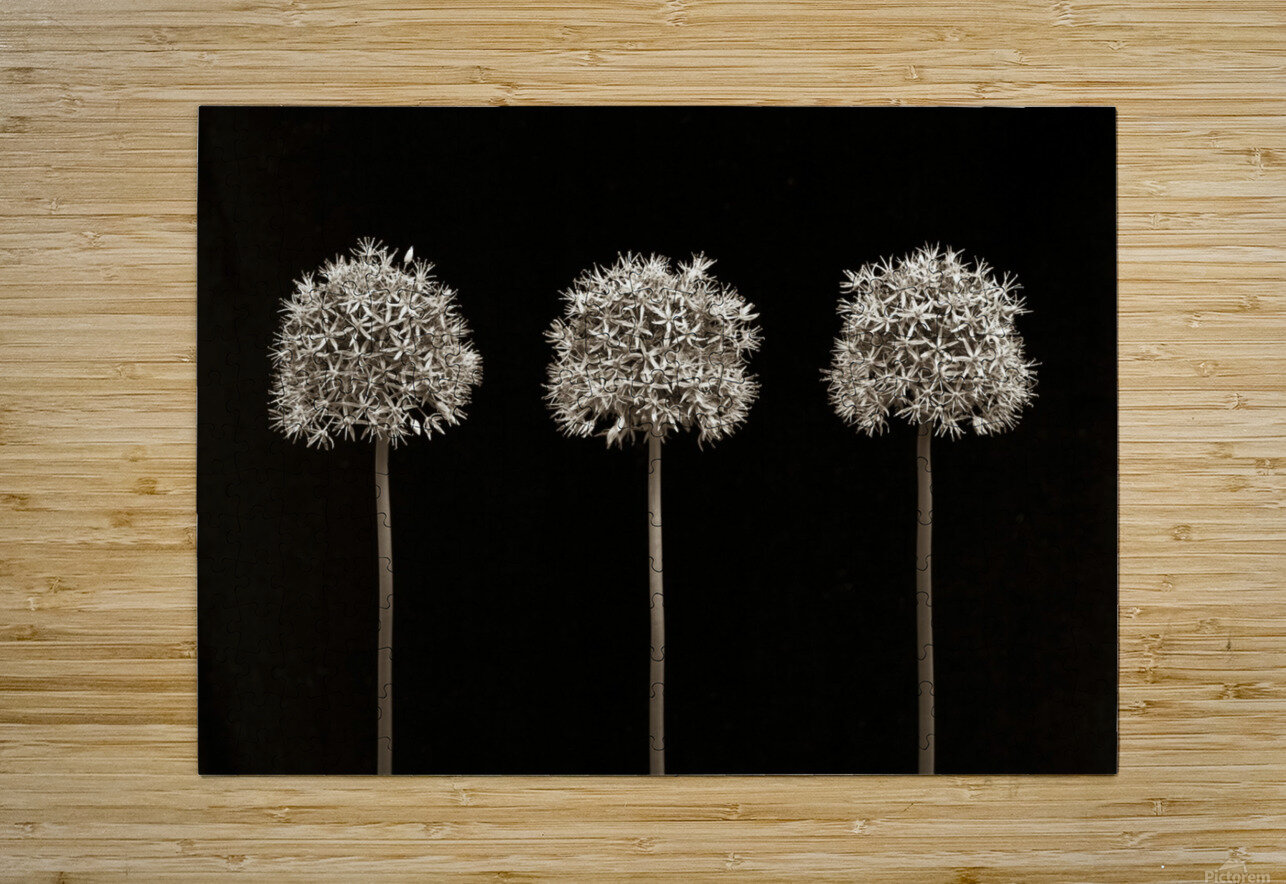 Three allium flowers  HD Metal print with Floating Frame on Back