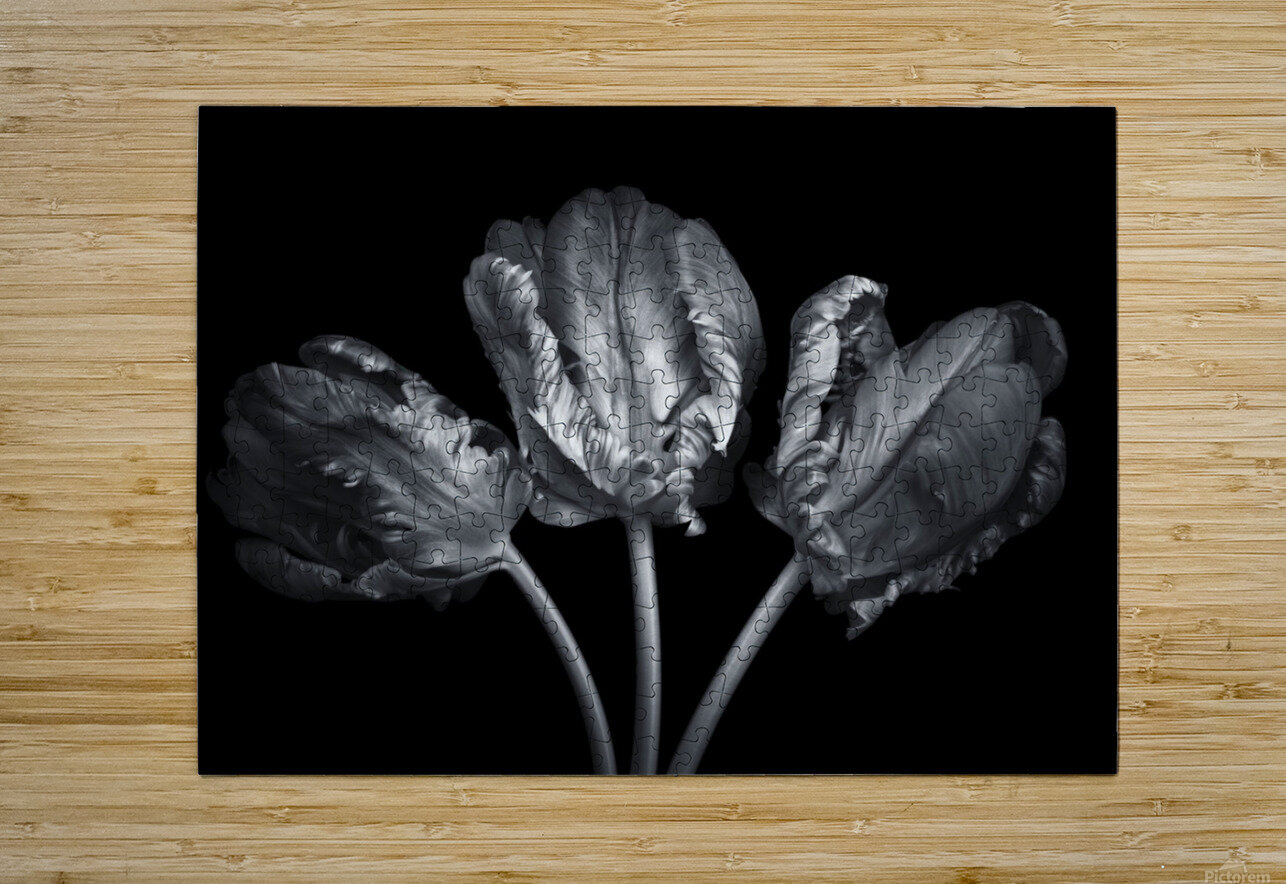 Three rococo tulips close-up  HD Metal print with Floating Frame on Back