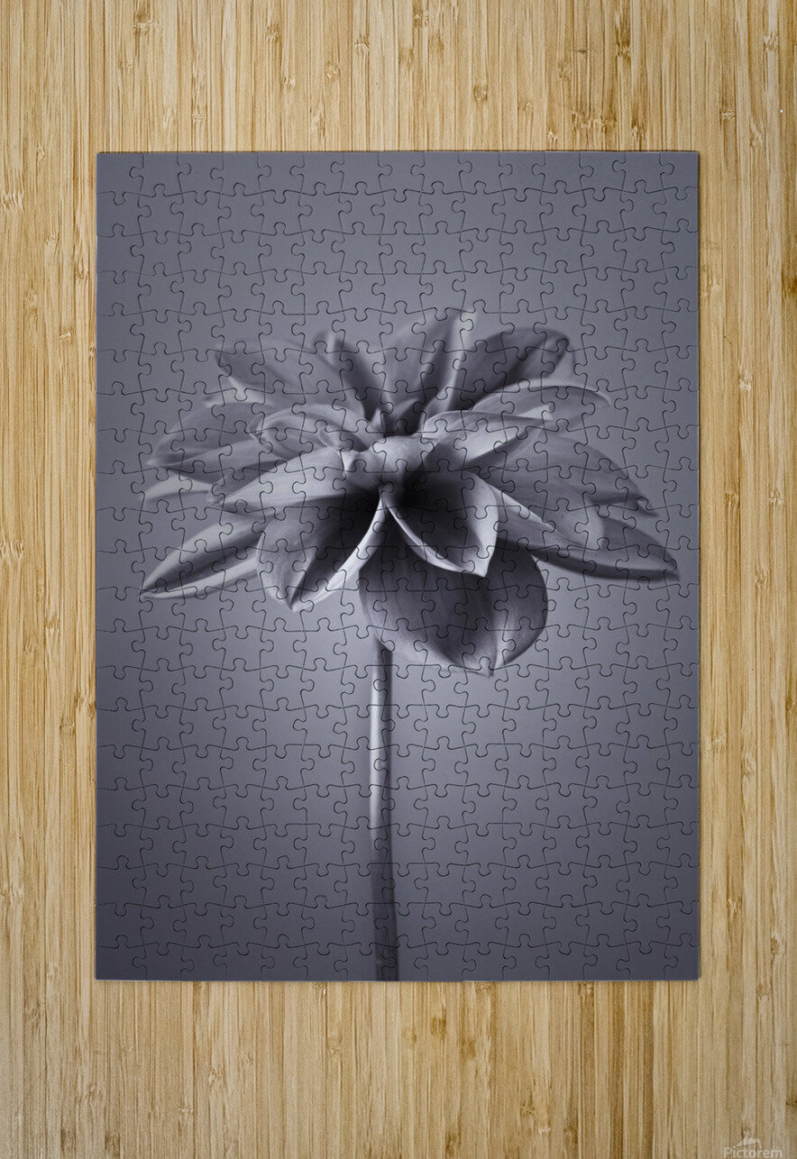 Dahlia Flower  HD Metal print with Floating Frame on Back