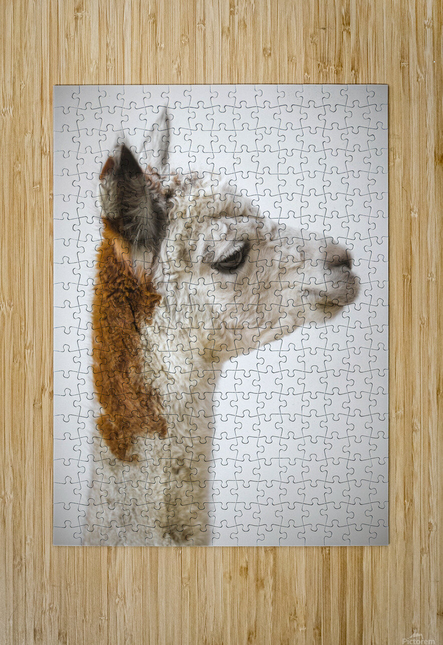 Close-up of Alpaca  HD Metal print with Floating Frame on Back