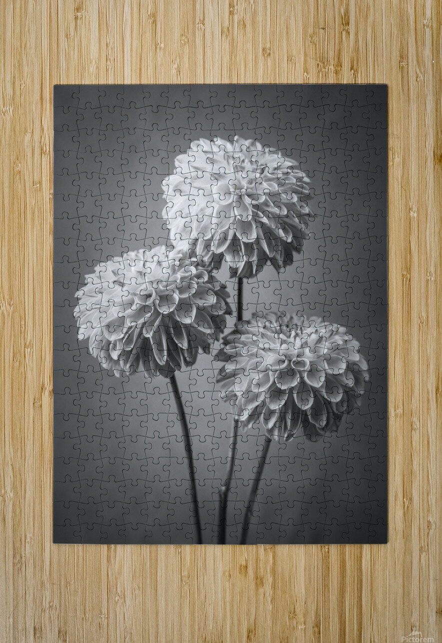 Three Dahlia flowers  HD Metal print with Floating Frame on Back