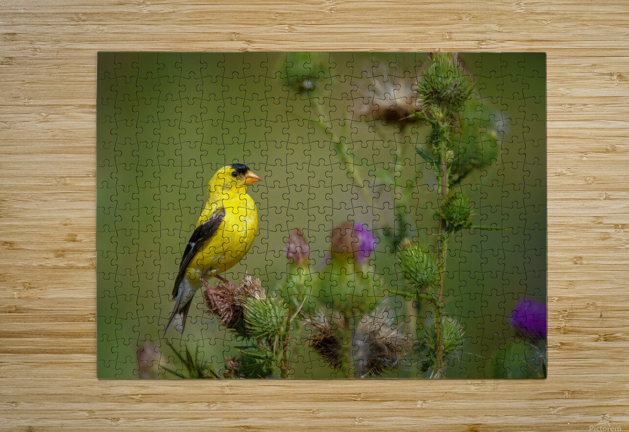 Goldfinch Male  HD Metal print with Floating Frame on Back