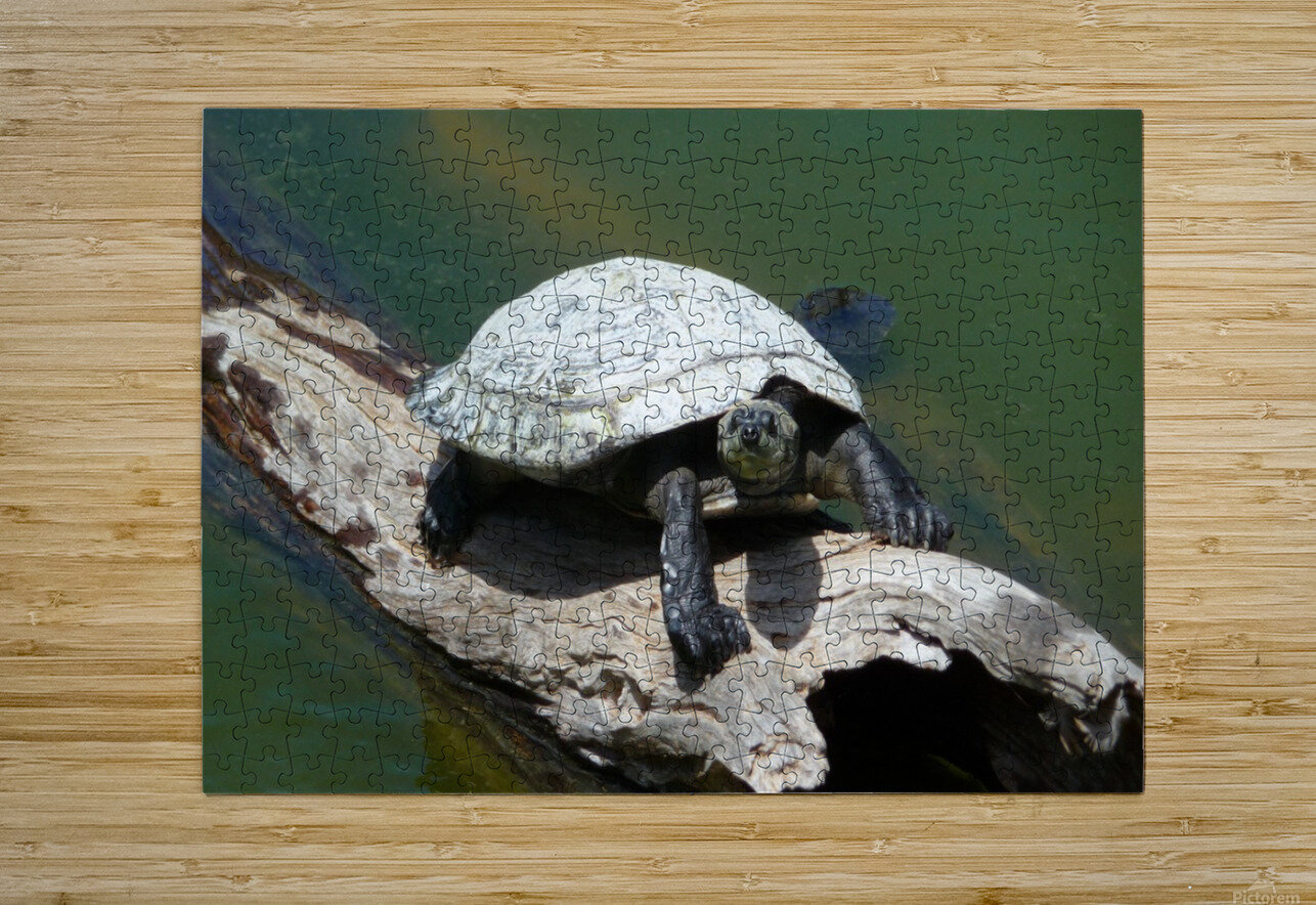 Snapping Turtle  HD Metal print with Floating Frame on Back