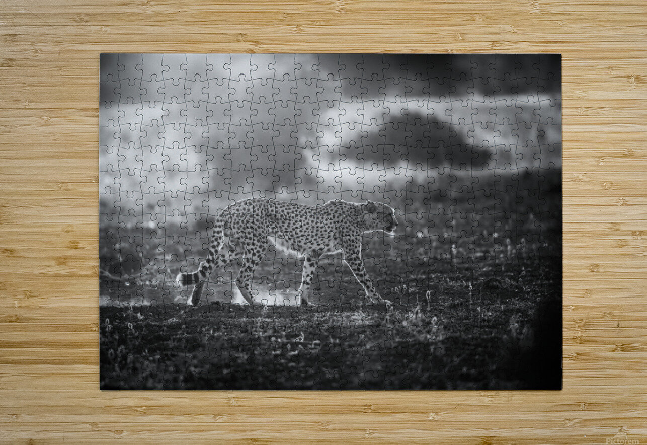 Backlit Cheetah by Jaco Marx   HD Metal print with Floating Frame on Back