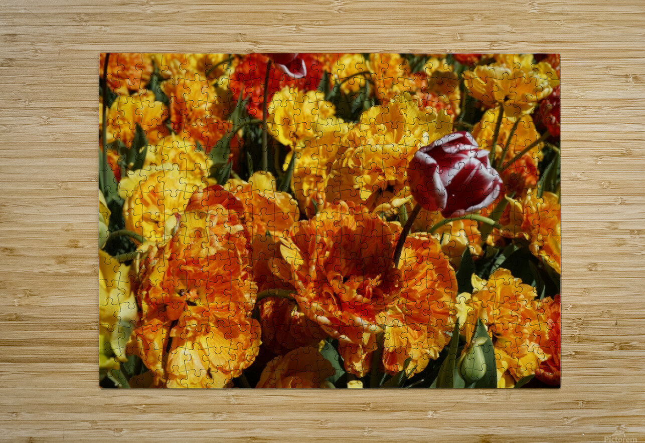 Tulips of the Netherlands 2 of 7  HD Metal print with Floating Frame on Back