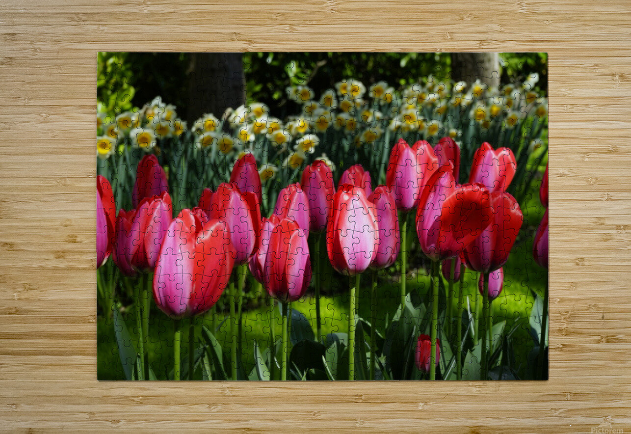 Tulips of the Netherlands 4 of 7  HD Metal print with Floating Frame on Back