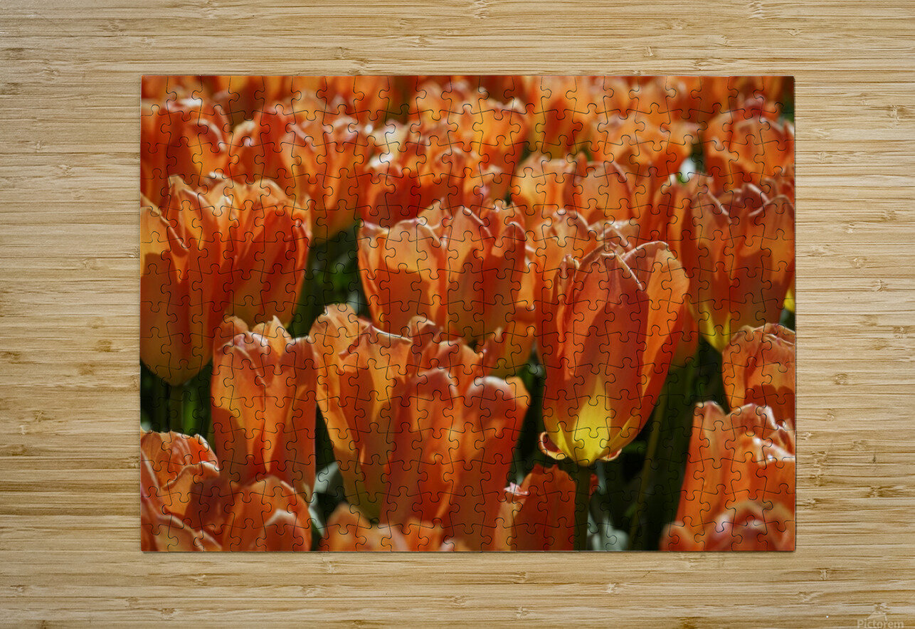 Spring Blooms of Holland 4 of 8  HD Metal print with Floating Frame on Back