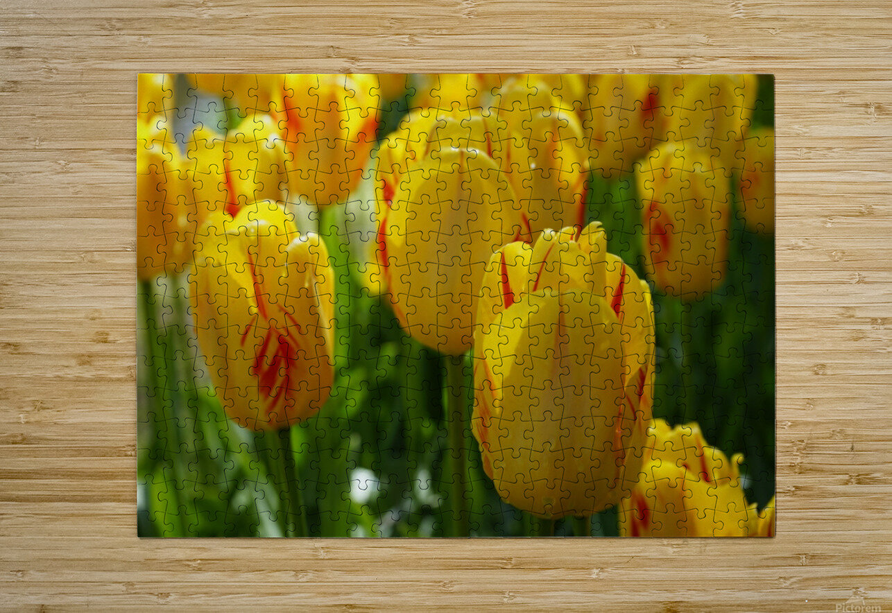 Spring Blooms of Holland 1 of 8  HD Metal print with Floating Frame on Back