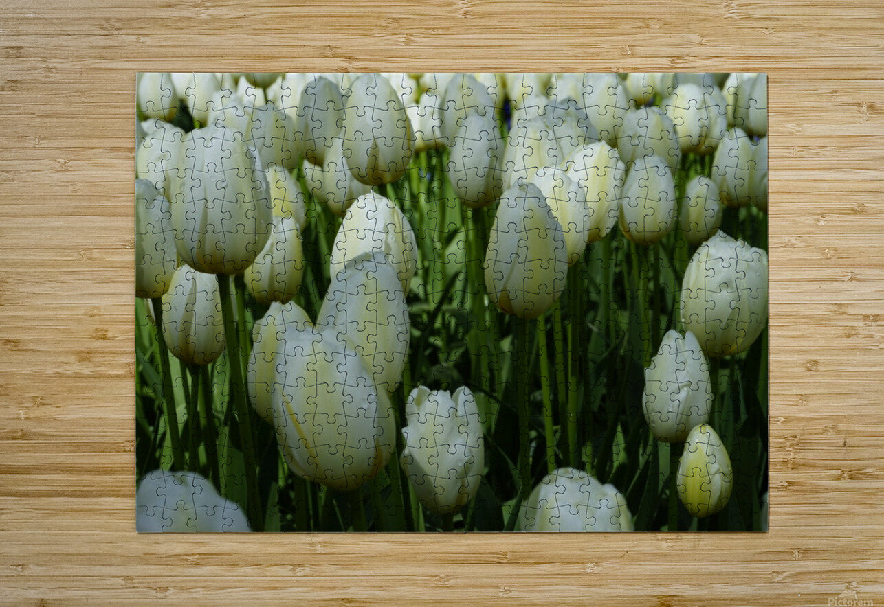 Spring Blooms of Holland 2 of 8  HD Metal print with Floating Frame on Back