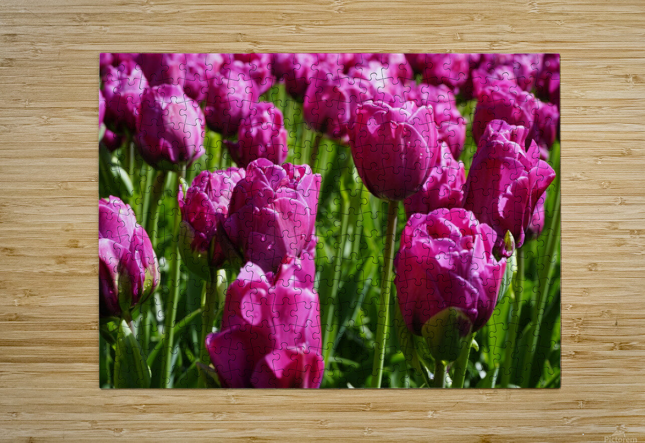 Tulips of the Netherlands 7 of 7  HD Metal print with Floating Frame on Back