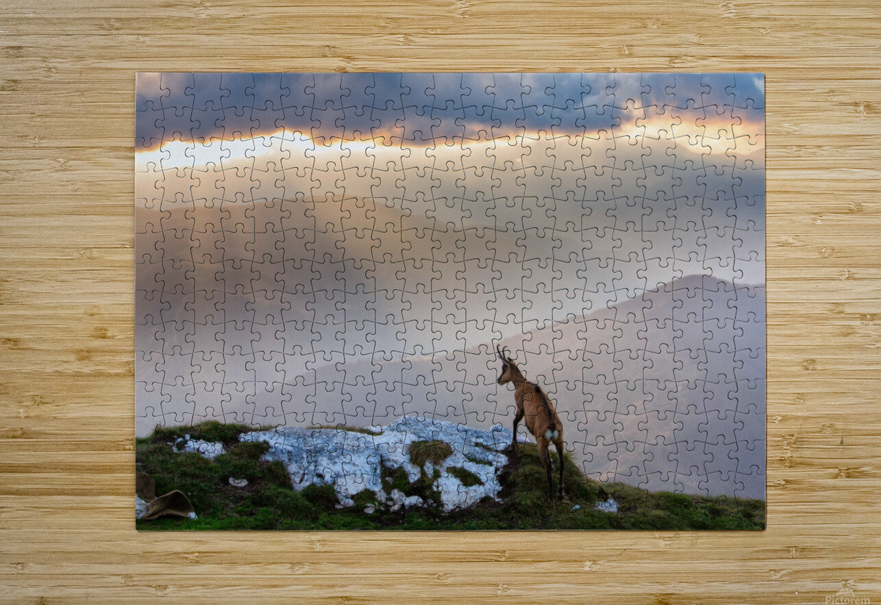 Chamois in Piatra Craiului Romania  HD Metal print with Floating Frame on Back