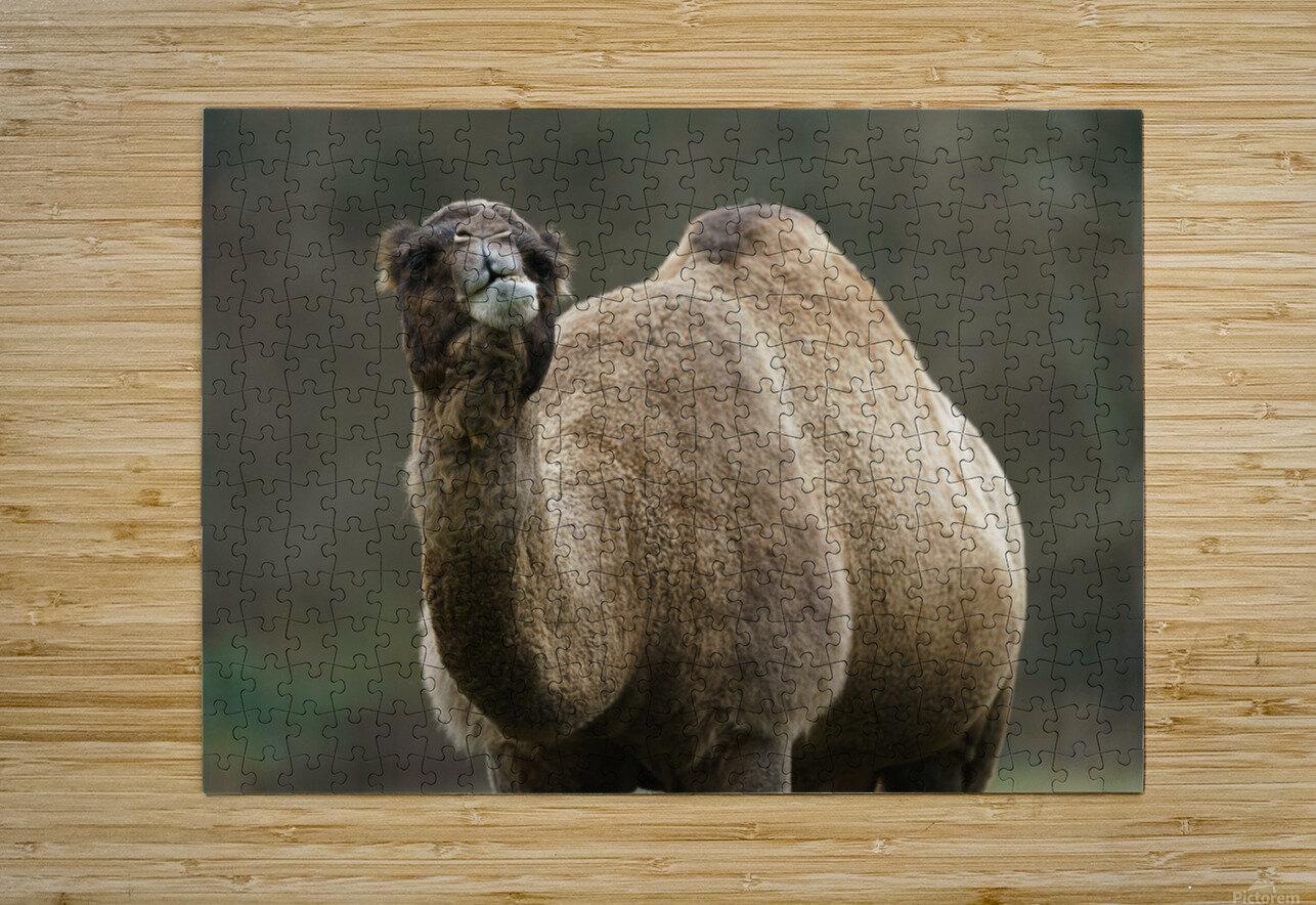 Camel  HD Metal print with Floating Frame on Back