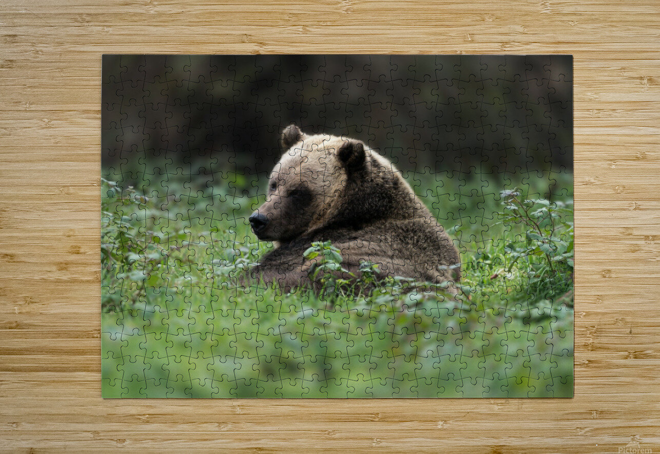 Grizzly Bear  HD Metal print with Floating Frame on Back