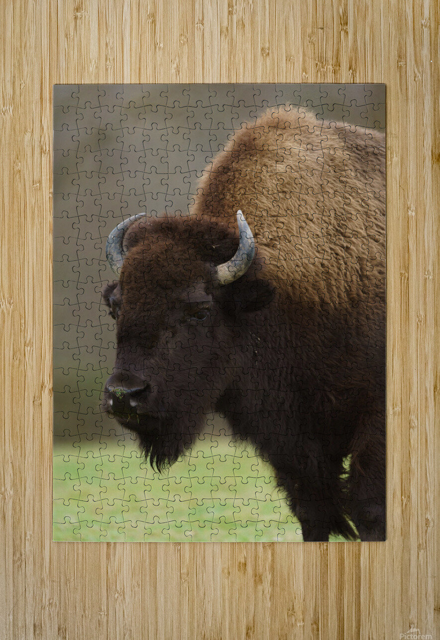 North American Buffalo  HD Metal print with Floating Frame on Back