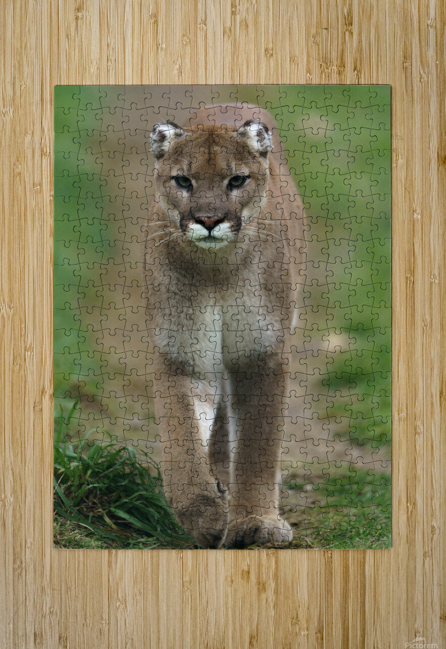 North American Cougar  HD Metal print with Floating Frame on Back