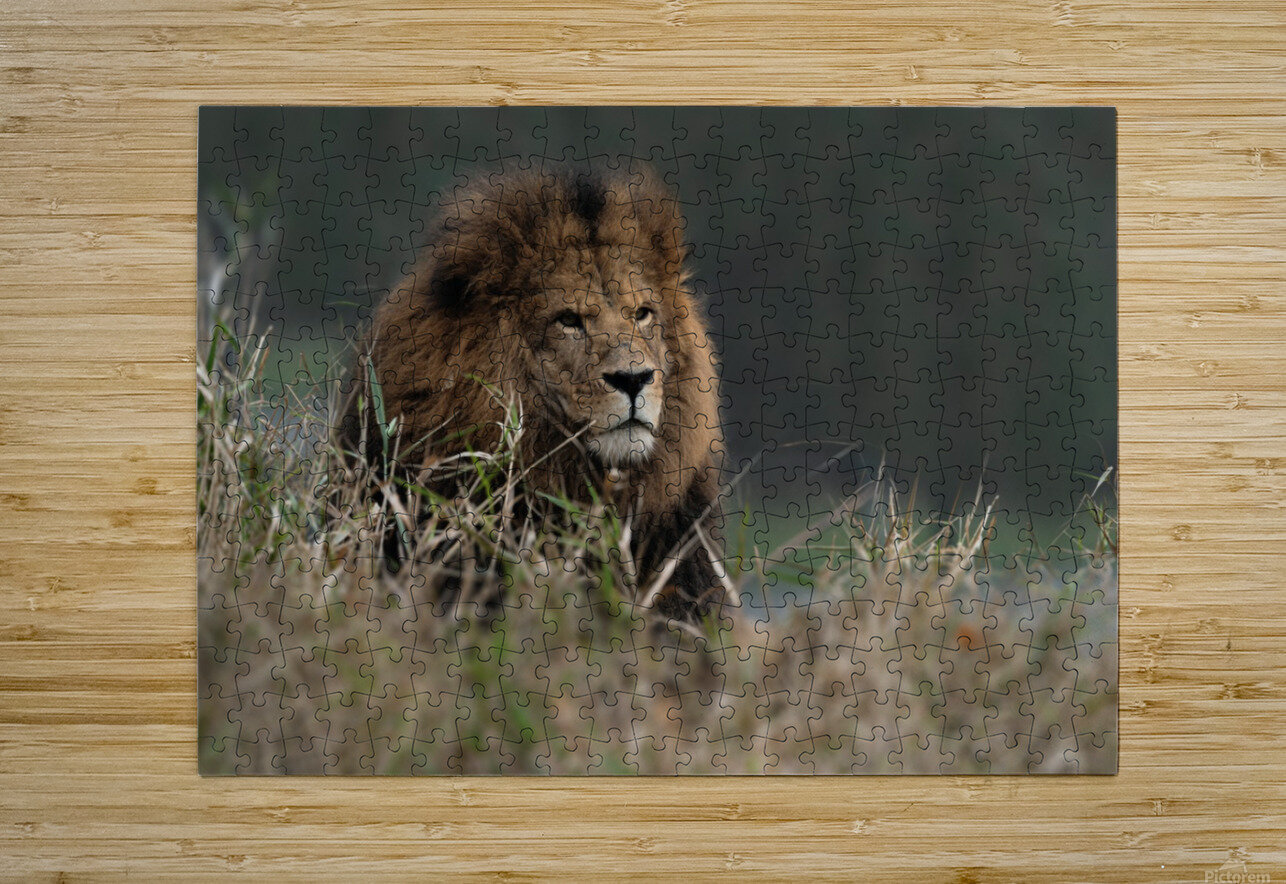 Lion  HD Metal print with Floating Frame on Back