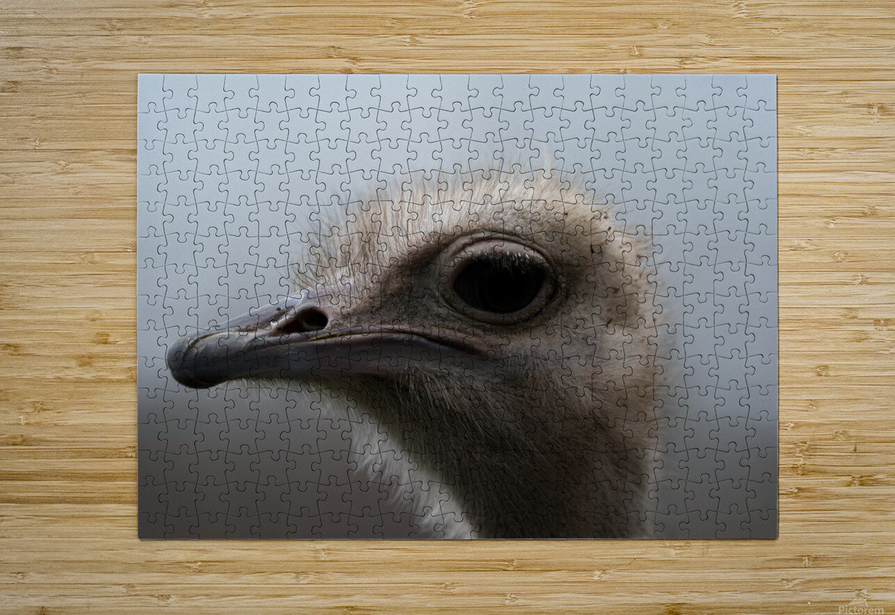 Ostrich  HD Metal print with Floating Frame on Back