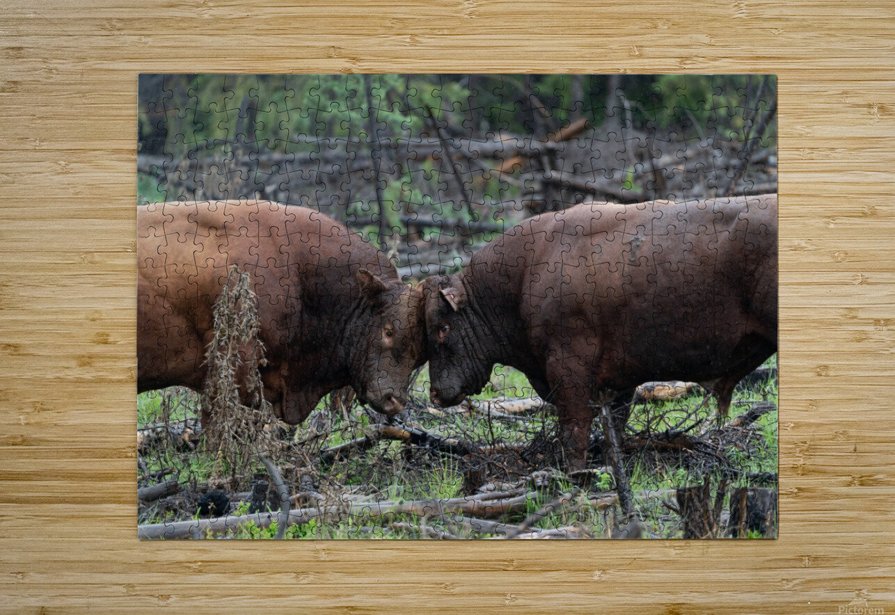 Bulls  HD Metal print with Floating Frame on Back
