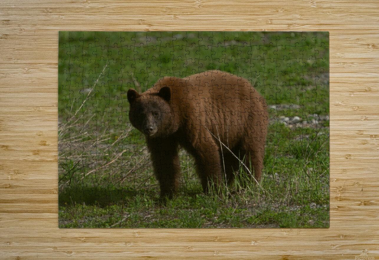 Cinnamon Black Bear  HD Metal print with Floating Frame on Back