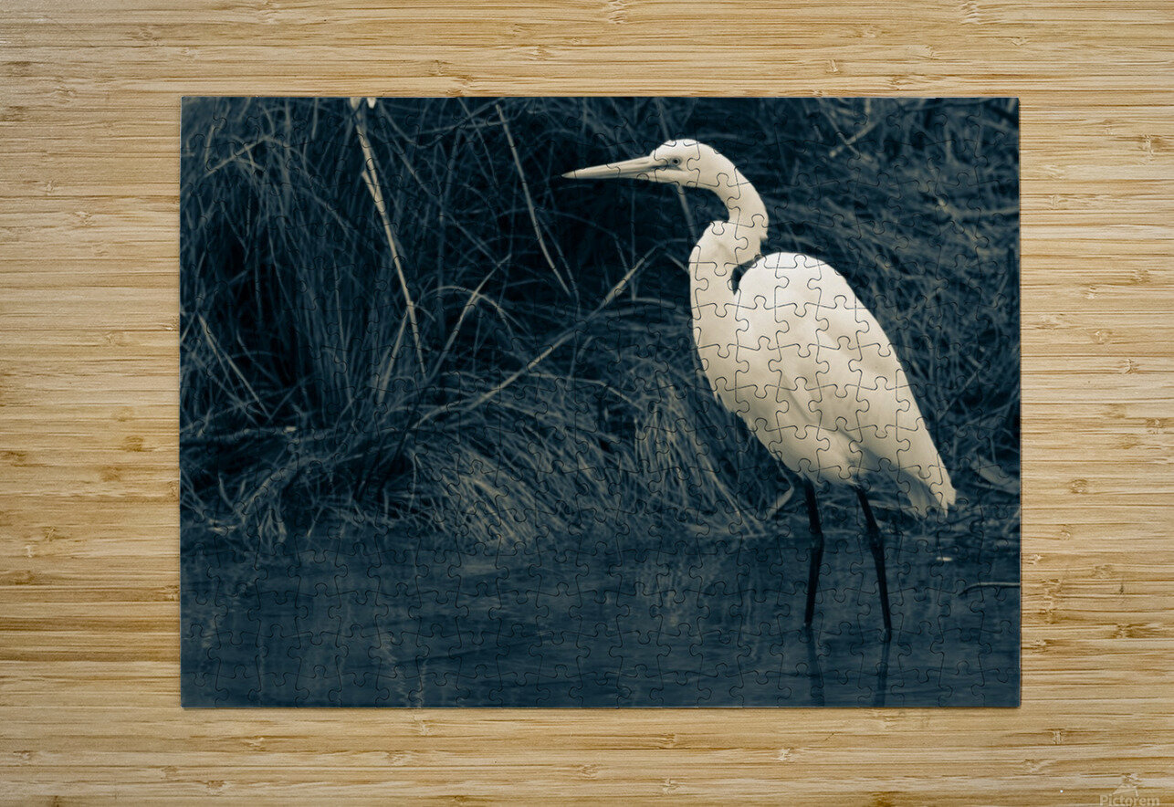 Great White Egret ap 1839 B&W  HD Metal print with Floating Frame on Back